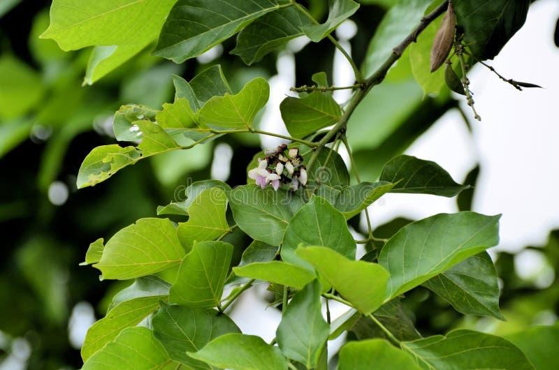 Biloba del Ginkgo del árbol de Maidenhair fotografía de archivo