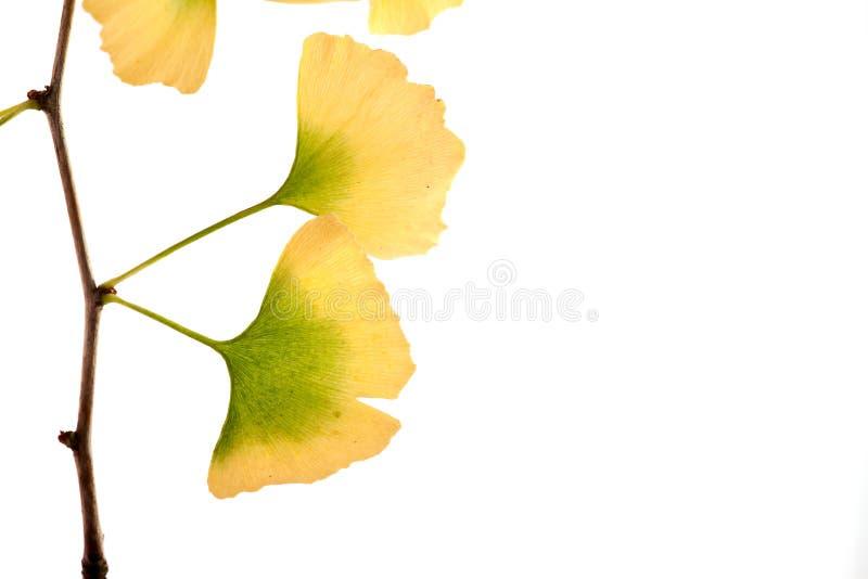 Biloba do Gingko fotografia de stock
