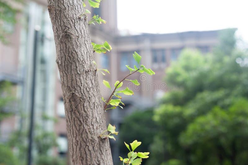 Biloba feuille-latéral L de branche-Ginkgo de Ginkgo photo stock