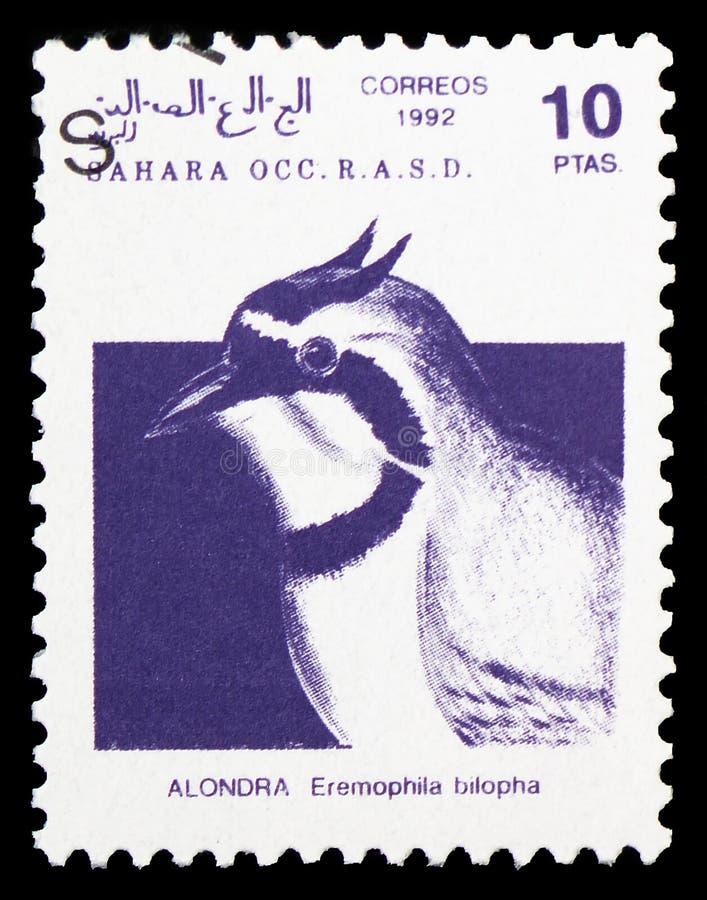Bilopha ALONDRA Eremophila, Сахара Occ serie, около 1992 стоковая фотография rf