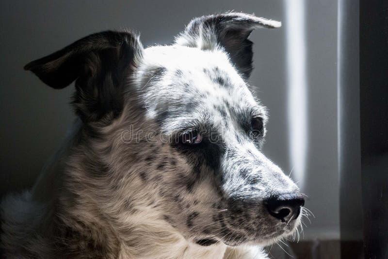 Bily de hond in aristrocratisch stelt royalty-vrije stock foto's