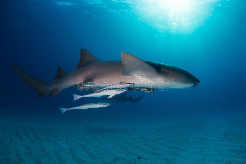 Bimini των Μπαχαμών καρχαριών νοσοκόμων στοκ εικόνες