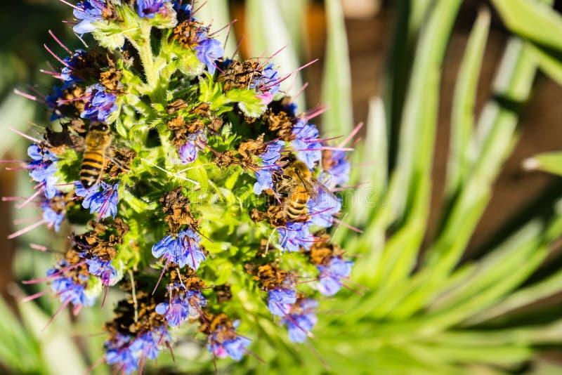 Bin Anthophila på stolthet av den madeiraEchiumCandicans blomman, Kalifornien royaltyfri foto