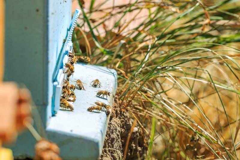 Bin, bikupor och honungskördearbetare i en naturlig bygdbikupa arkivfoto