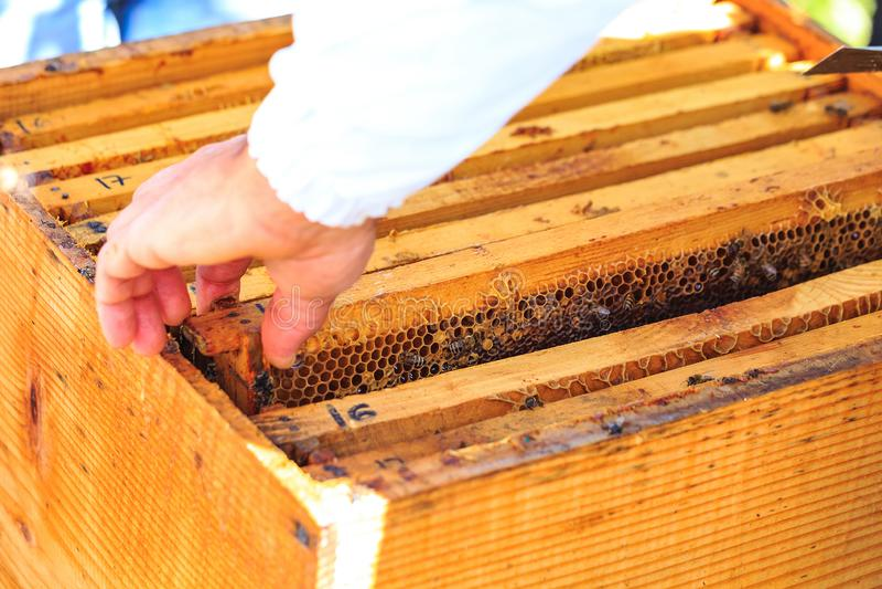 Bin, bikupor och honungskördearbetare i en naturlig bygdbikupa arkivfoton