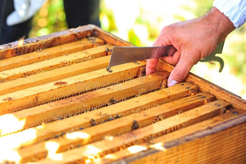Bin, bikupor och honungskördearbetare i en naturlig bygdbikupa arkivbilder