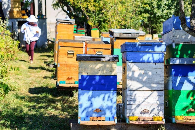 Bin, bikupor och honungskördearbetare i en naturlig bygdbikupa royaltyfri foto