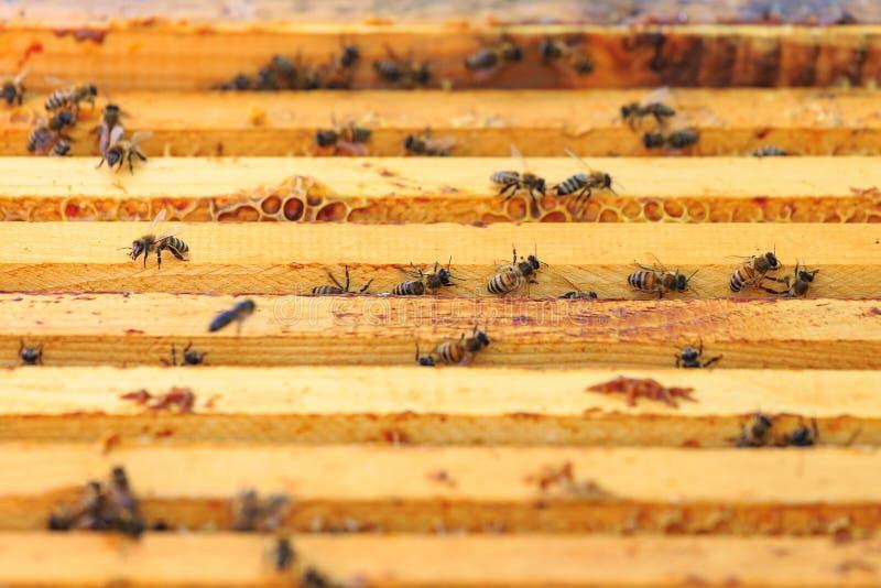 Bin, bikupor och honungskördearbetare i en naturlig bygdbikupa arkivbild