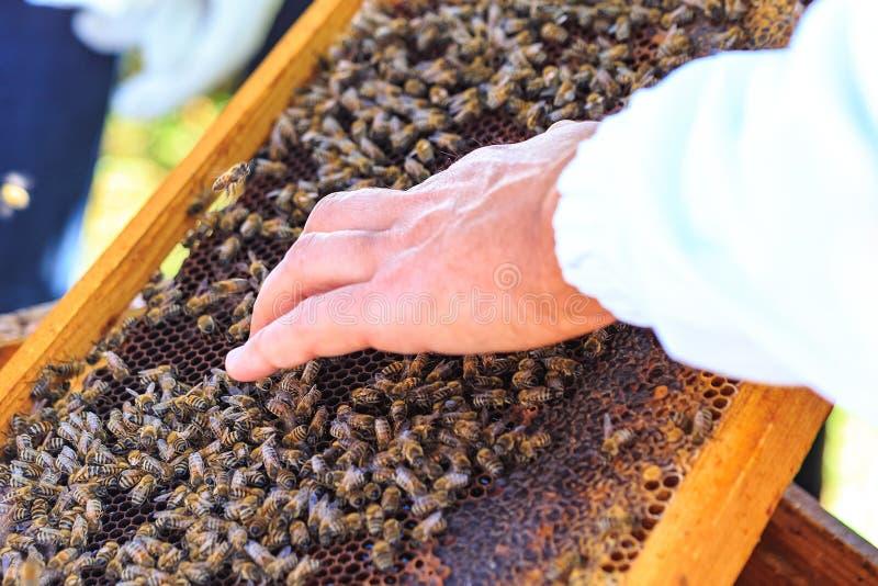 Bin, bikupor och honungskördearbetare i en naturlig bygdbikupa royaltyfri fotografi