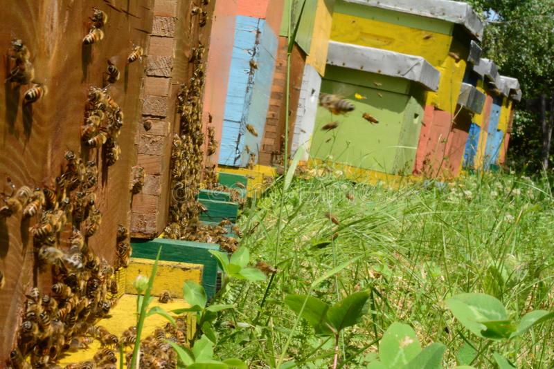 Bin kommer med pollen in i bikupan royaltyfri foto