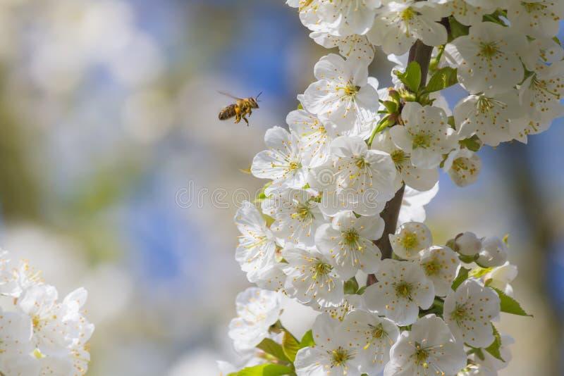 Bin och körsbärsröda blomningar arkivfoto