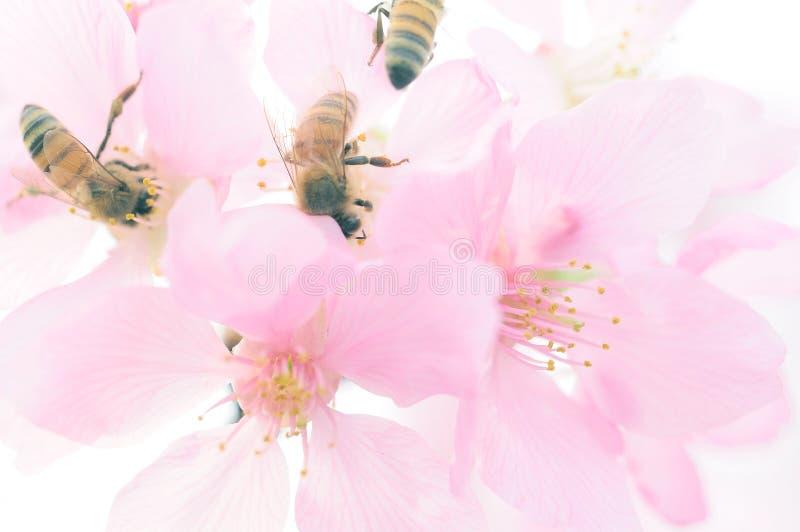 Bin och körsbärsröda blomningar royaltyfri foto