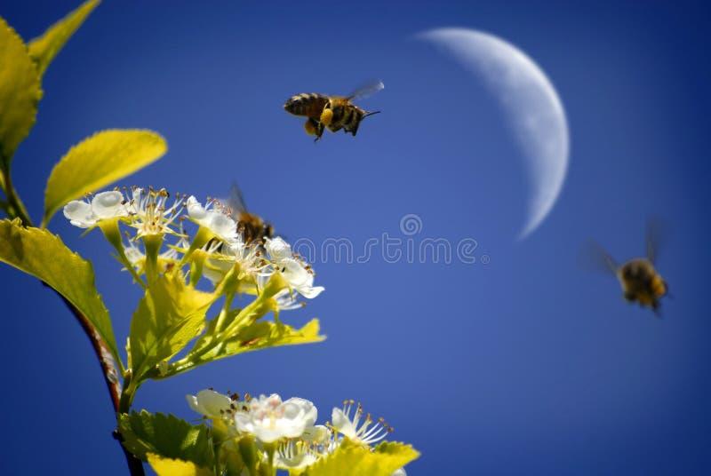 Bin som flyger runt om blommor arkivfoton
