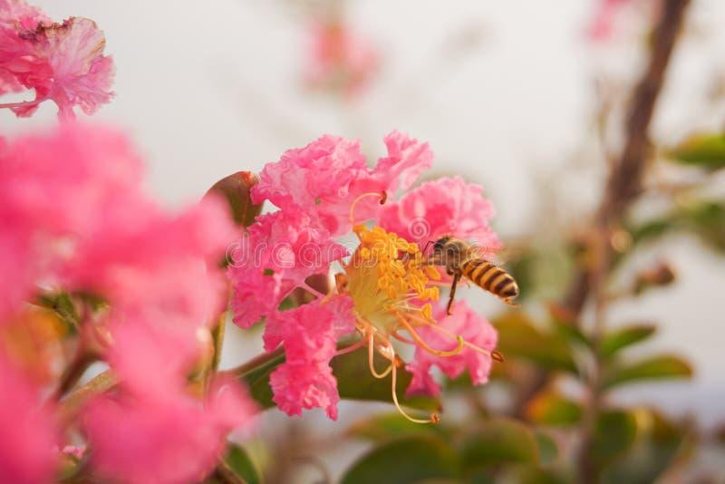 Bin som sätta sig på kronblad som söker efter honung royaltyfri bild