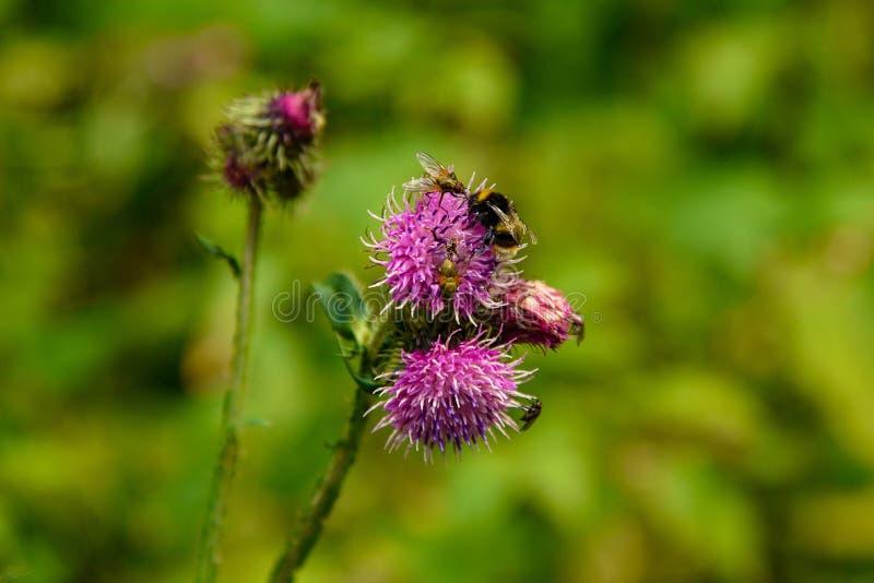 Bin som samlar pollen från den violetta kronärtskockatistelblomman arkivbild