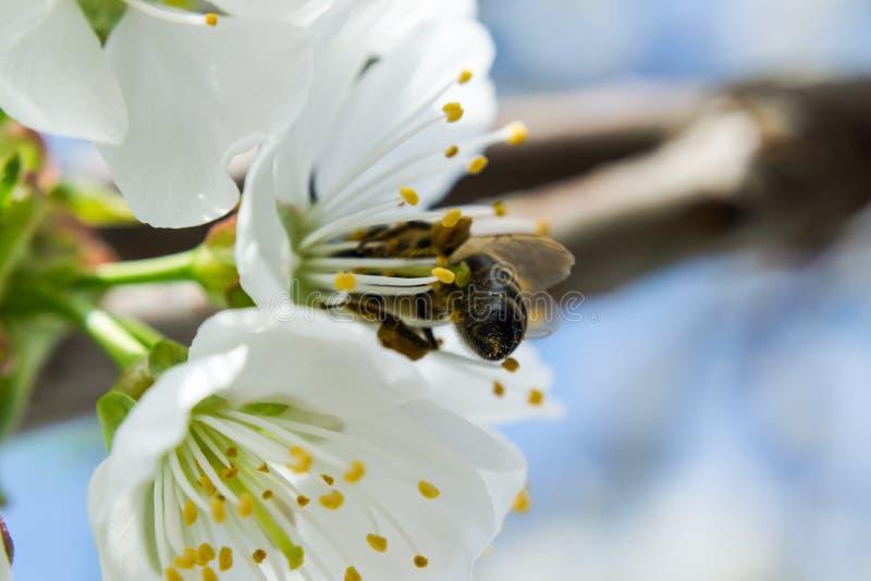 Bin som samlar pollen från körsbärsröda blomningar i vår arkivfoton