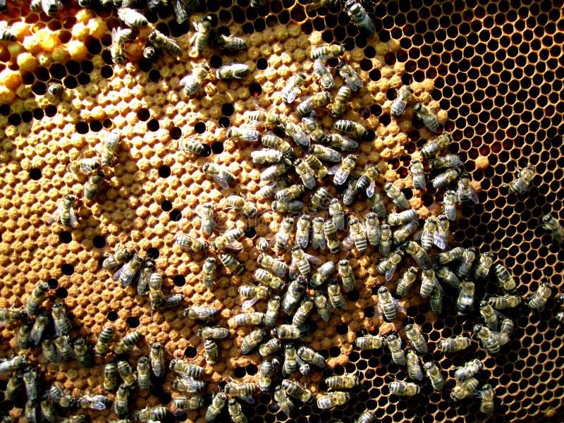 Bin upptagna av honungproduktionen arkivbilder