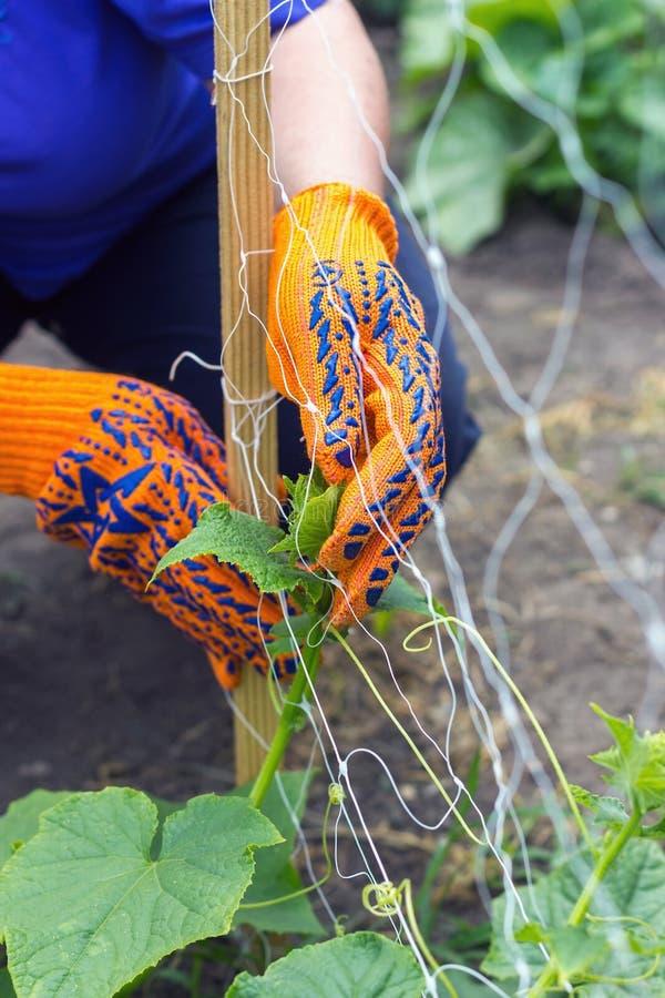 Bindung von Gurken im Garten, der im wässernden Garten arbeitet und lizenzfreies stockbild