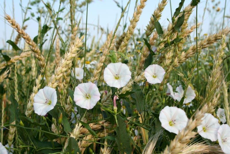 bindweed λευκό στοκ φωτογραφία