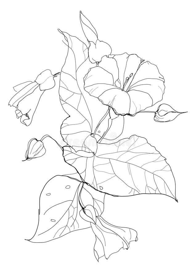 Bindweed stock illustration