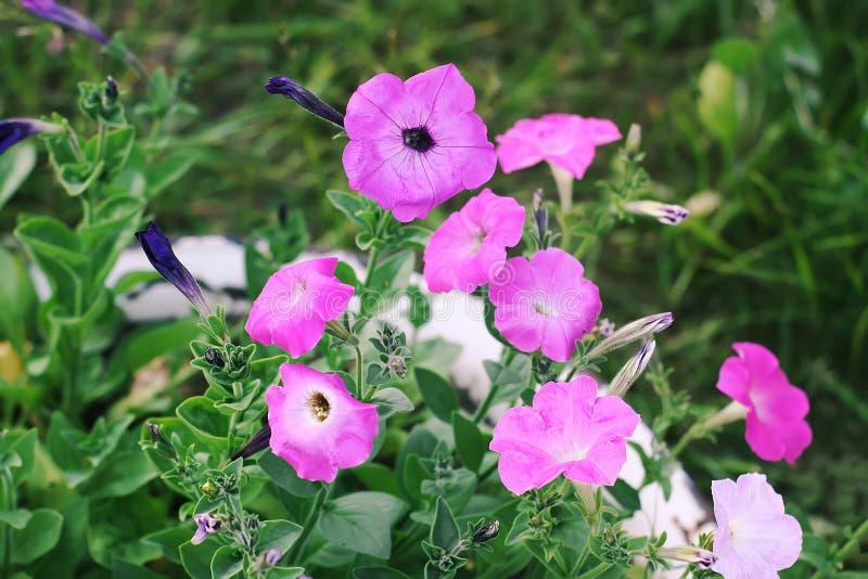 Bindweed, Convolvulus sp. flower, pernicious weed plant stock photo