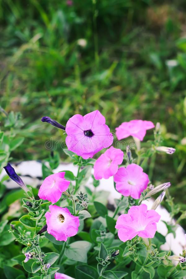 Bindweed, Convolvulus sp. flower, pernicious weed plant. Bindweed, Convolvulus sp. purple flower, pernicious weed plant royalty free stock photos