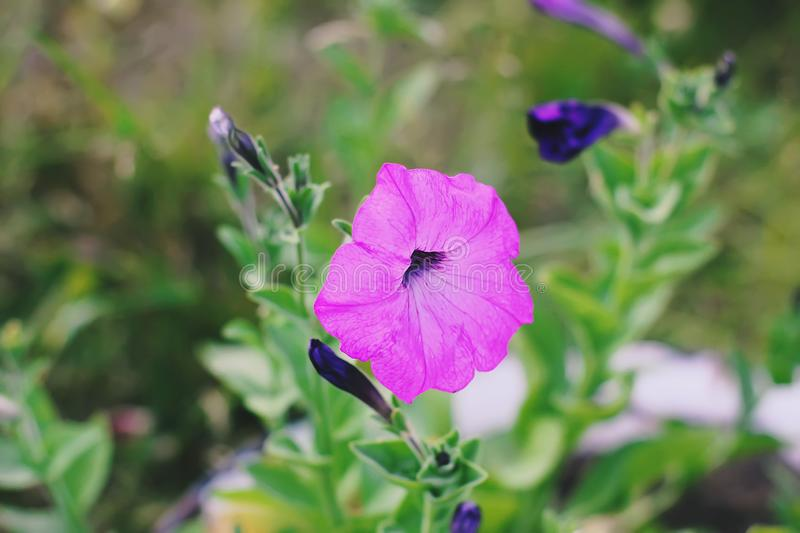 Bindweed, Convolvulus sp. flower, pernicious weed plant. Bindweed, Convolvulus sp. purple flower, pernicious weed plant stock images