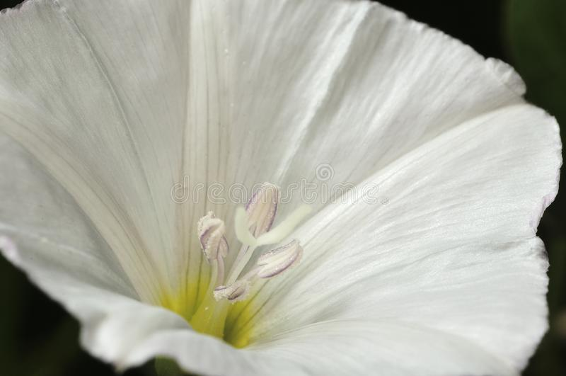 Bindweed - powoju sp Kwiaty na łące, biali kwiaty i landweeds, - szkodliwa świrzepa uprawy Selekcyjna ostro?? Zako?czenie zdjęcie royalty free