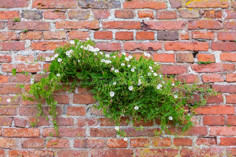 Bindweed trembling in the wind on a red brick wall stock photography