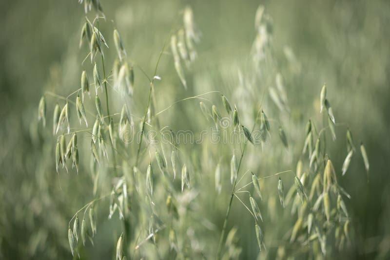 Bing zieleń dojrzały owsa dorośnięcie w polu fotografia stock