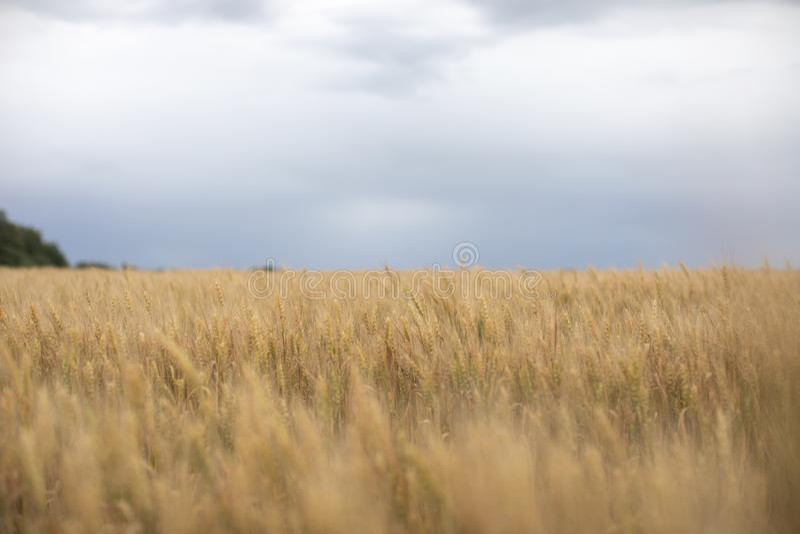 Bingguling av moget korn som växer i ett fält fotografering för bildbyråer