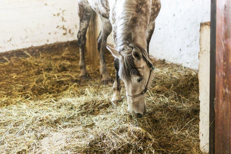 Binnen bijeen drijft het vlek grijze paard die hooi eten bij Alleen droevig dier die voedsel hebben bij landbouwbedrijf stock foto