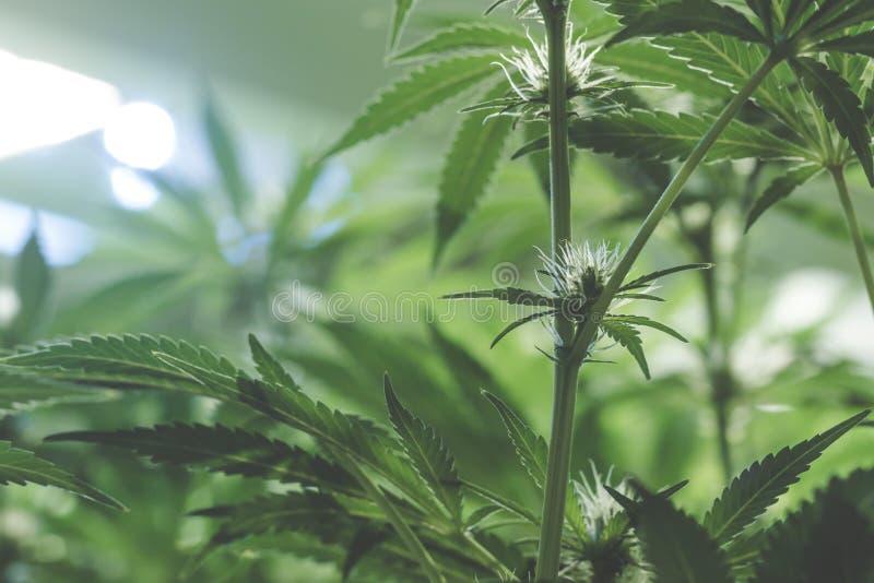 Binnen dichte omhooggaand van jonge marihuanabloem stock fotografie