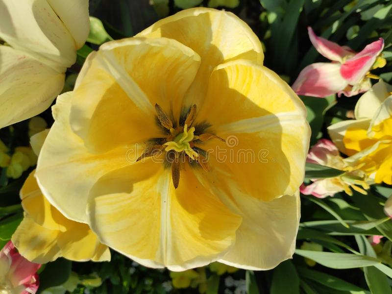 Binnen in een mooie gele en witte tulp stock fotografie