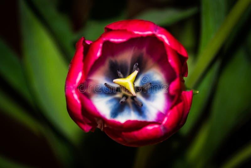 Binnen een rode tulp royalty-vrije stock afbeelding
