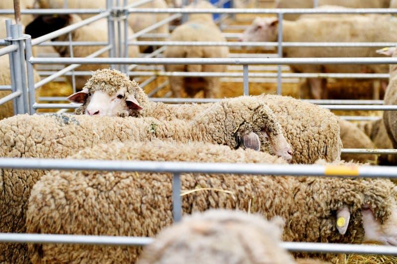Binnen een schapenlandbouwbedrijf royalty-vrije stock foto