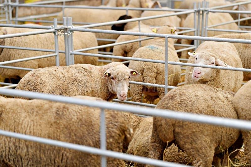 Binnen een schapenlandbouwbedrijf royalty-vrije stock foto's
