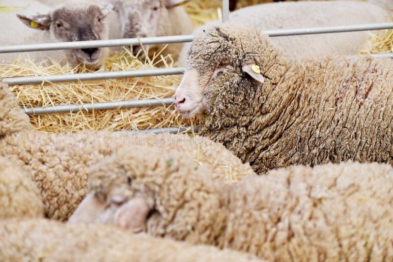 Binnen een schapenlandbouwbedrijf stock foto's