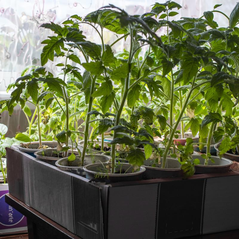 Binnen kwekend komkommerzaailingen dichtbij het venster Nieuwe spruiten met bladeren royalty-vrije stock afbeeldingen
