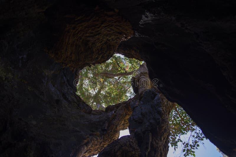 Binnen van een reuze holle tintelingsboom royalty-vrije stock fotografie