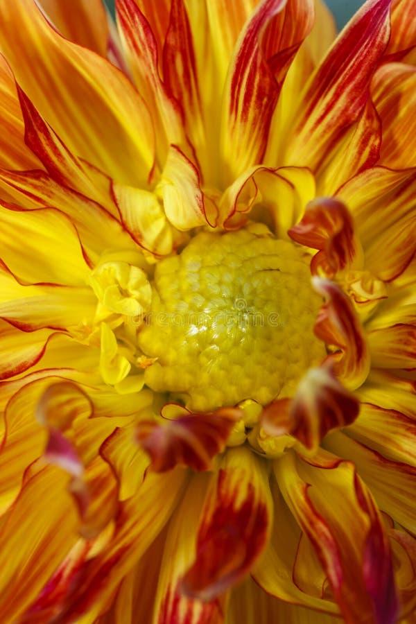 Binnen van een rode en gele dahlia royalty-vrije stock foto's