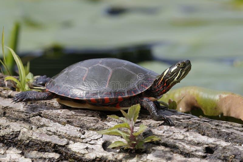 Binnenland gemalte Schildkröte, die auf einem Protokoll sich aalt stockfoto