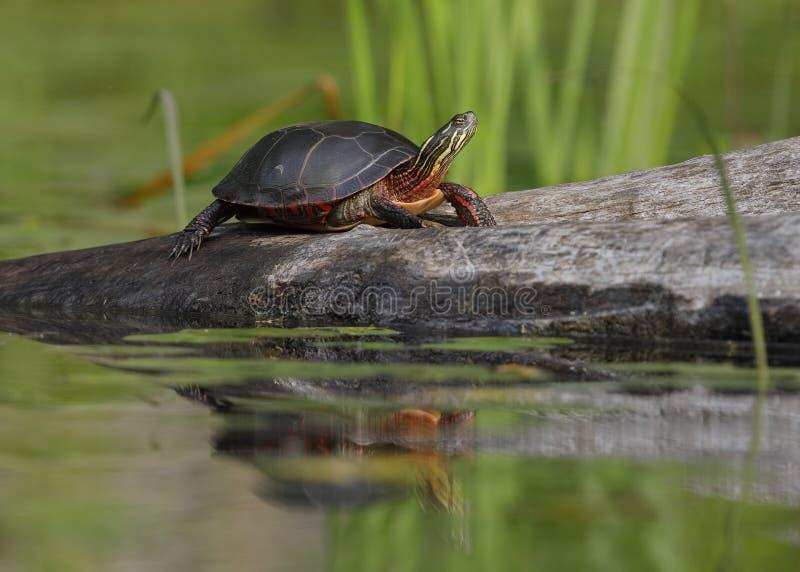 Binnenland gemalte Schildkröte, die auf einem Protokoll sich aalt stockbild