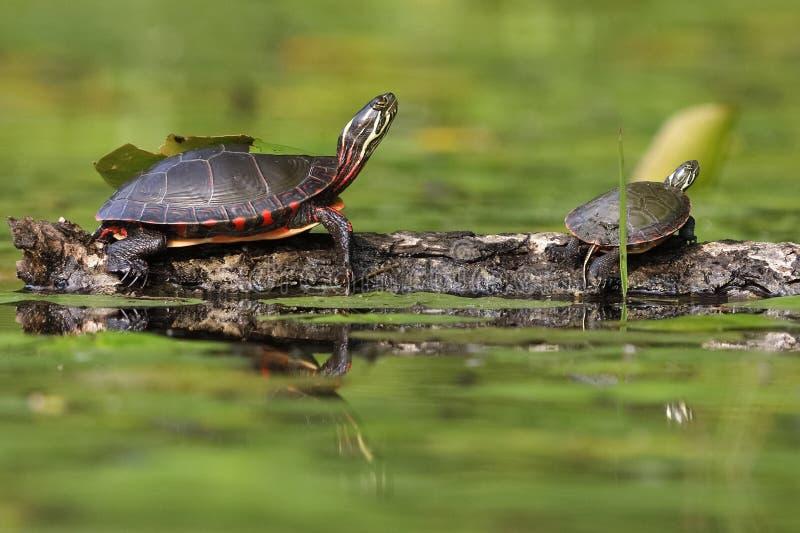 Binnenland gemalte Schildkröte, die auf einem Protokoll sich aalt lizenzfreie stockfotos
