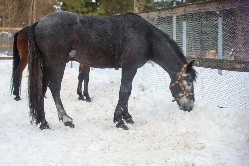 Binnenlands grijs paard die in de sneeuwpaddock lopen in de winter stock afbeeldingen