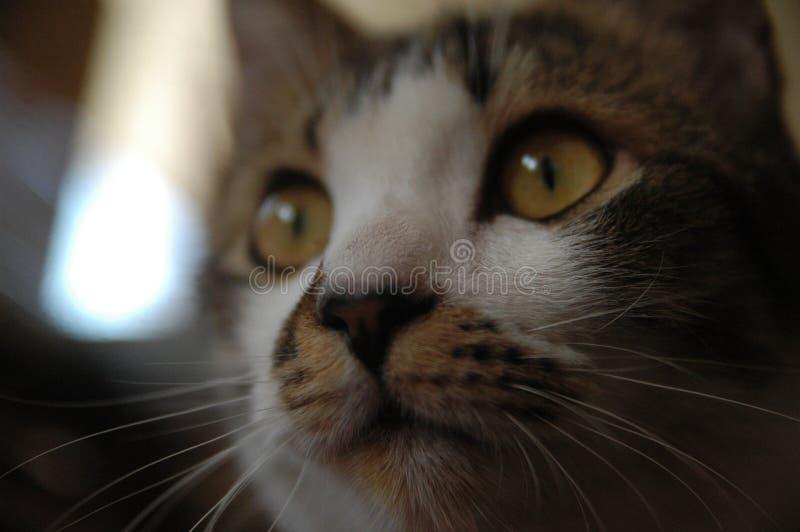 binnenlands jong mannelijk het detailobjecten van het katten thuis dicht omhooggaand gezicht harig huisdier stock afbeelding