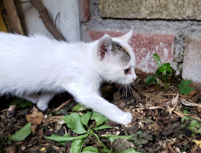 Binnenlands kattenpuppy met haar in wit en bruin royalty-vrije stock foto