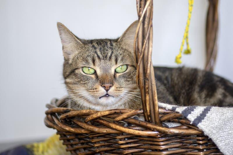 Binnenlands marmeren kattenportret, oogcontact, leuk potgezicht, verbazende kalkogen stock foto