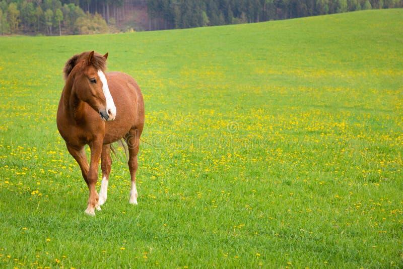 Binnenlands paard op een gebied royalty-vrije stock foto