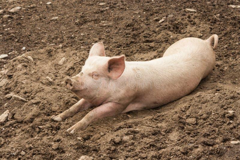 Binnenlands varken die in modder rusten royalty-vrije stock fotografie
